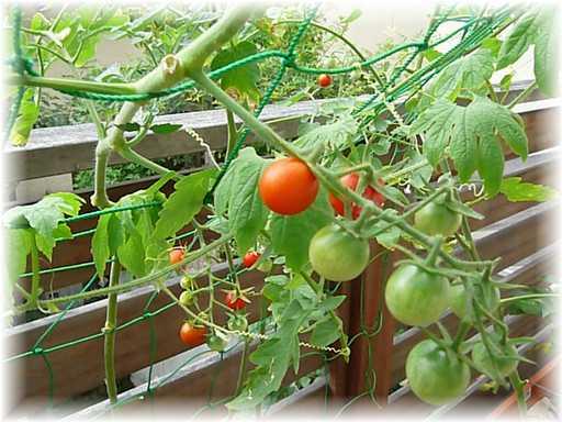 20110730ミニトマト