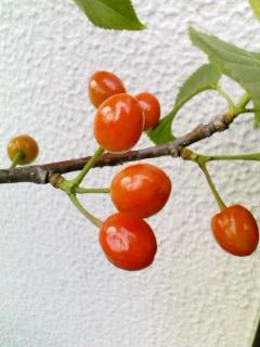 cherry16may2011.jpg