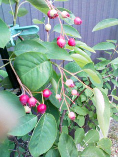 juneberry8june2011.jpg