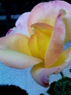 rose214june2011.jpg
