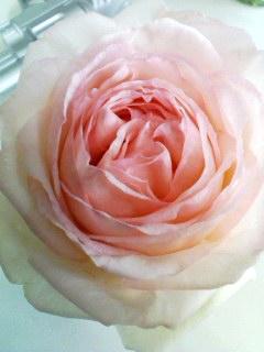 rose230may2011.jpg