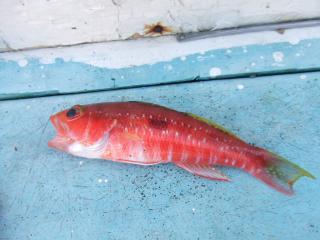 20091204ヒメコダイ
