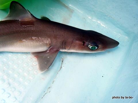 20110923サメ1