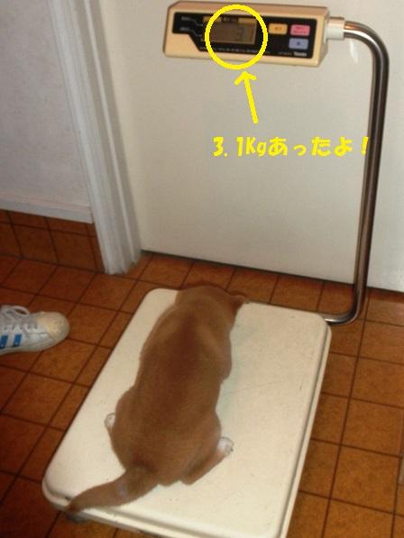 体重3.1Kg