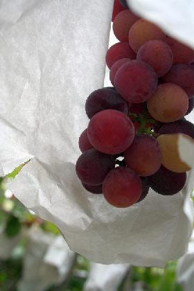 きれいな葡萄でしょ。