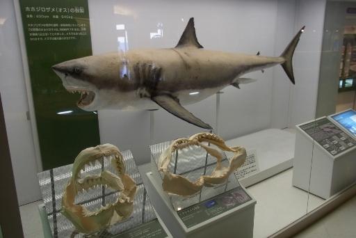 ホホジロザメの剥製