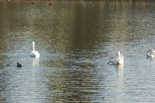 餌を探す白鳥