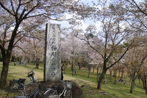 名勝 磯部の桜