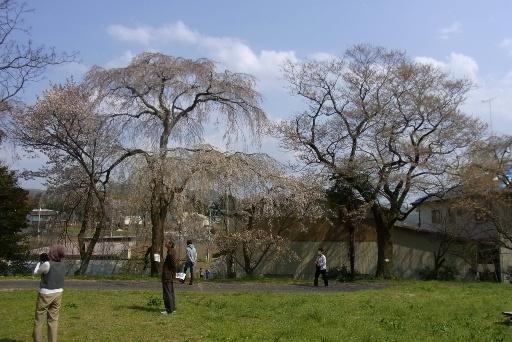 糸桜(左)と江戸彼岸桜