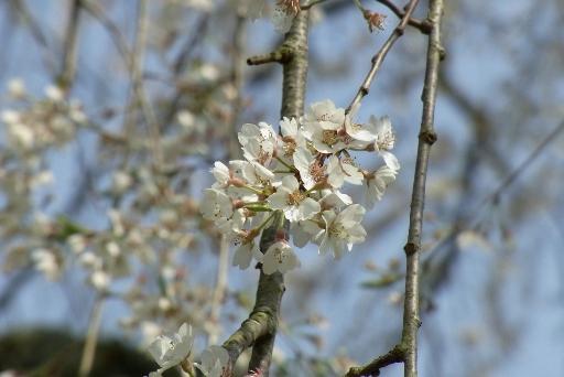 可愛いらしい糸桜