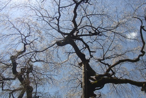 立派な枝ぶり