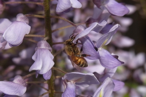 ミツバチ君もお散歩中