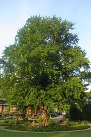 巨大なイチョウの木
