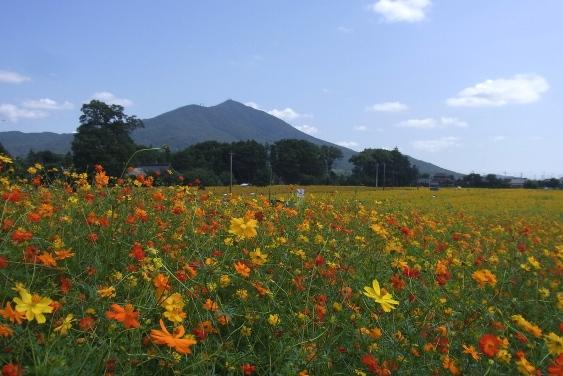 筑波山と黄花コスモス