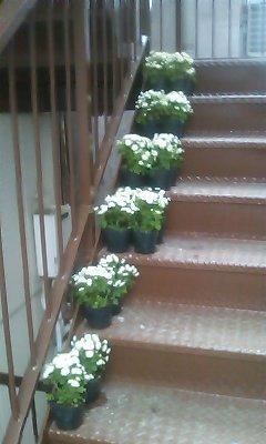 夏白菊 階段E01