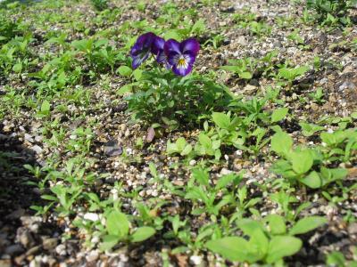 春花の発芽