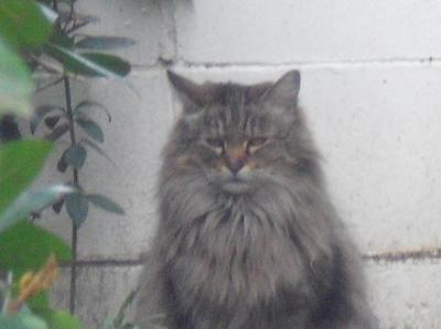 長毛のトラ猫さん その2