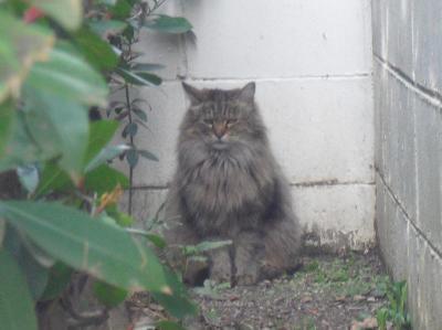 長毛のトラ猫さん その1