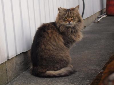 耳カットの長毛トラ猫さん