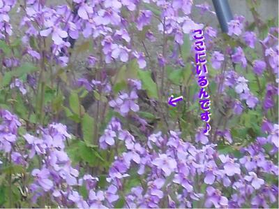 パチュリ花の中