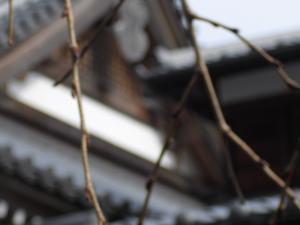 枝垂桜のつぼみ