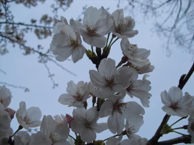 神社の桜 1