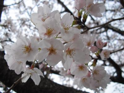 神社の桜 2