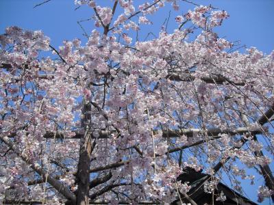 枝垂れ桜が満開に!