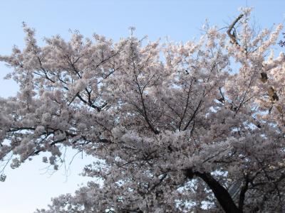 願成寺の桜 その1