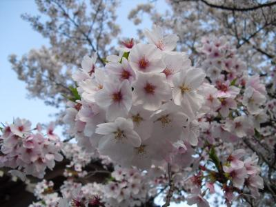 願成寺の桜 その2