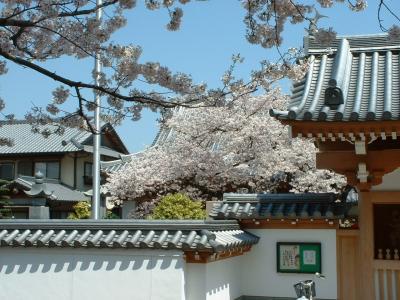 五年前のお寺の桜
