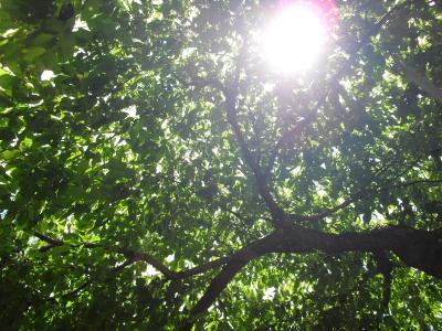 枝垂桜に透けるお日様
