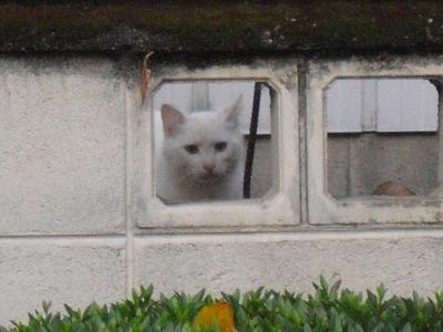 白い美猫さん