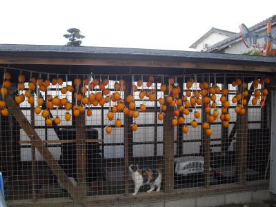 猫舎の軒下に吊るし柿