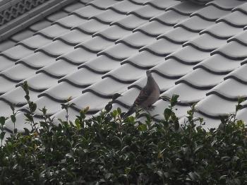 屋根の鳩さん