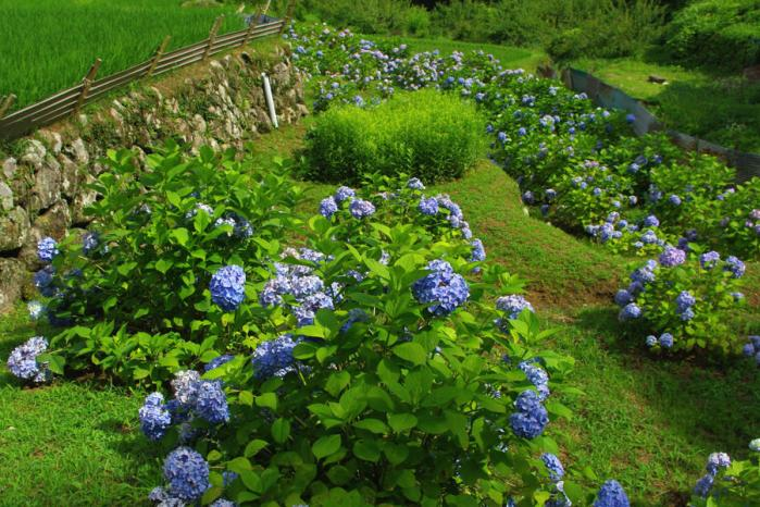 四谷千枚田の紫陽花