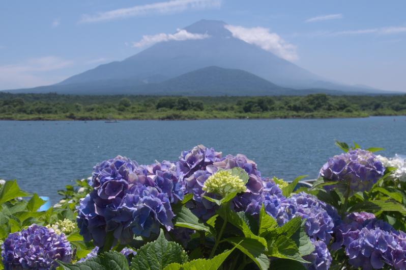 富士山・子抱き富士と紫陽花