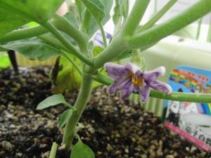 茄子伯爵の花110622