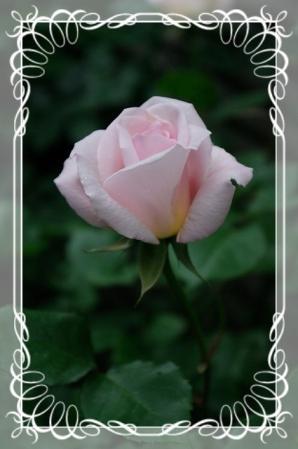 f-rose512 012