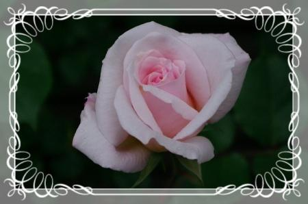 f-rose512 010
