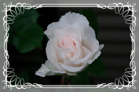 f-rose512 005