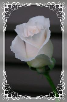 f-rose512 008