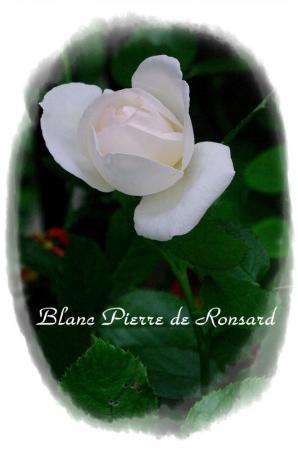 f-rose530 012