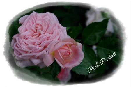 f-rose530 013