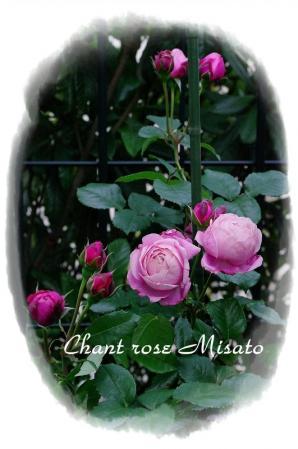 f-rose530 010