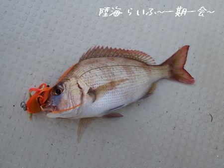 ミニミニ真鯛