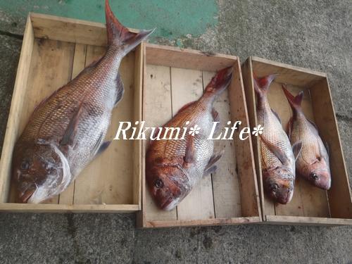 タルタル釣果