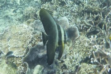 ツバメウオ幼魚_convert_20100420234456