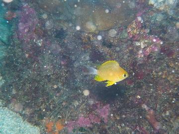 コガネスズメダイの幼魚