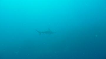 poinntonotemaedeサメ